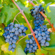 Purple red grapes with green leaves on the vine — Stock Photo #64231885