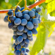 Purple red grapes with green leaves on the vine — Stock Photo #64231921