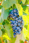 Purple red grapes with green leaves on the vine — Stock Photo