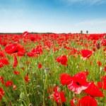 Red poppy flowers on fields Crimea. Russia. — Stock Photo #73697837