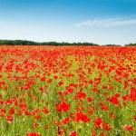 Red poppy flowers on fields Crimea. Russia. — Stock Photo #73697853