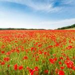 Red poppy flowers on fields Crimea. Russia. — Stock Photo #73697857