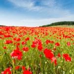 Red poppy flowers on fields Crimea. Russia. — Stock Photo #73697869
