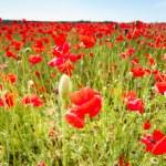 Red poppy flowers on fields Crimea. Russia. — Stock Photo #73697881