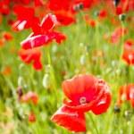 Red poppy flowers on fields Crimea. Russia. — Stock Photo #73697909