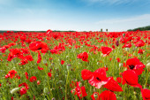 Red poppy flowers on fields Crimea. Russia. — Stock Photo