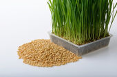 Wheat grass and wheat grains — Stock Photo