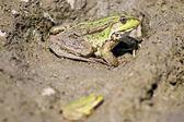 カエル — ストック写真