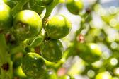 Green fruit — Stock Photo