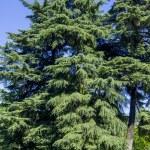 Coniferous trees — Stock Photo #58189031