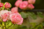 Branch of rose flowers — Stock Photo