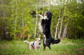 Old dog border collie and puppy playing — Stock Photo