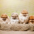 Four Pomeranian puppy Spitz looking at the camera — Stock Photo #63002059