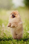 Small Pomeranian puppy  — Stock Photo