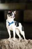 Purebred black and white dog  — Stock Photo