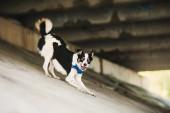 Purebred black and white dog make a cute pose — Stock Photo