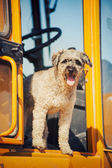 Curly brown dog jumping stands at the construction machine — Stock Photo