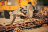 Curly brown dog jumping on a construction site — Stock Photo