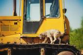 Curly brown dog jumping running on a construction machine — Stock Photo