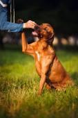 Rhodesian Ridgeback dog training  — Stockfoto