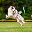 Border collie dog catching frisbee in jump — Stock Photo #63508777