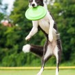 Border collie dog catching frisbee in jump — Stock Photo #63508783