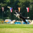 Border collie dog catching frisbee in jump — Stock Photo #63508789