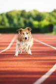 Dog running at sport stadium  — Stock Photo