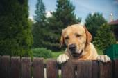 Labrador dog peeping from behind a fence — Stock Photo