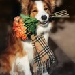 Red Border Collie dog holding a bouquet of flowers — Stock Photo #68772587