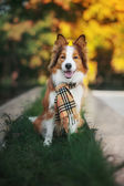 Red dog wearing a scarf in autumn — Stock Photo