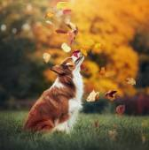Young border collie dog playing with leaves in autumn — Stock Photo