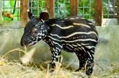 Baby malayan tapir — Stock Photo