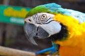 Arara azul-e-amarelo — Fotografia Stock