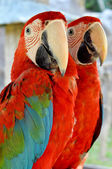 Green-winged Macaw — Stock Photo