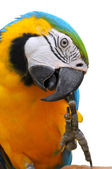 Blue-and-Gold Macaw — Stock Photo