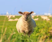 A droll ruminating sheep — Stock Photo
