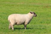 Woolly sheep standing in the pasture — Stock Photo