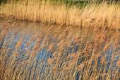 Dry reed along the rippling water — Stock Photo
