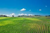 Vineyard landscape in Tuscany — Stock Photo