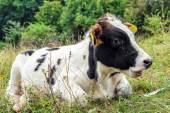 Young Calf with lots of flies  arround — Foto Stock