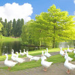 Many wild geese at a lake — Stock Photo #54229045