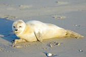 Baby Grey Seal — Stock Photo