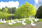 Many wild geese at a lake — Foto Stock