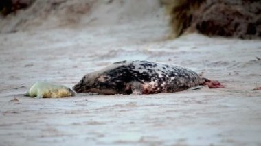 Grey seal giving birth — Stock Video