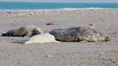 Young seals on the beach — Vídeo de stock