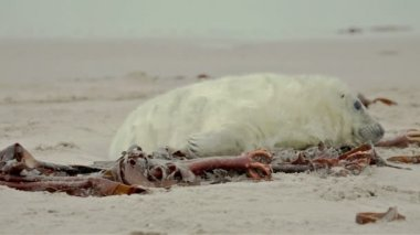 Young grey seal — Stock Video