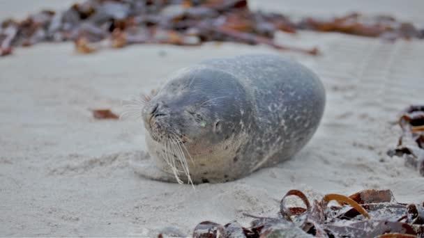 Joven foca gris — Vídeo de stock