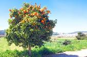 Tree full of oranges — Stock Photo