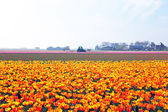 Blossoming tulips in the countryside from the Netherlands — Stock Photo